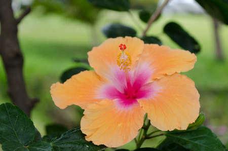 Closing up on giant orange hibiscus in Waikoloa, Big Island, Hawaii