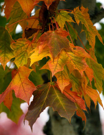 Cooper and golden  tones on maple foliage in Redmond suburb, Washington