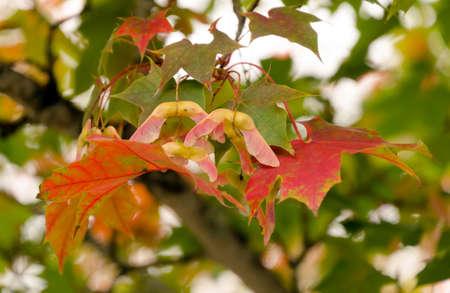 Cooper tones on maple foliage with seeds  in Redmond, Seattle suburbs, Washington
