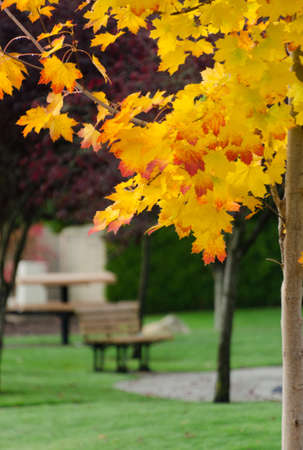 Golden and  red maple crones  in suburb park in Redmond, Washington