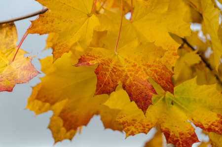 Cooper and golden colors in maple foliage in Redmond park, Washington Stock fotó
