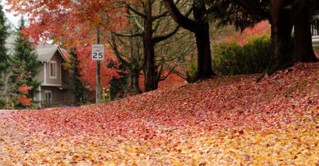 Red and golden oak foliage during fall season in Redmond suburb alley, with 25 speed limit