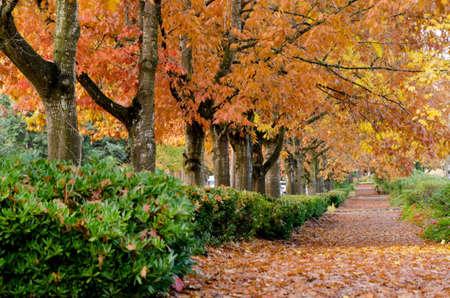 Oak alley in fall season in Redmond suburb, Washington Stock fotó