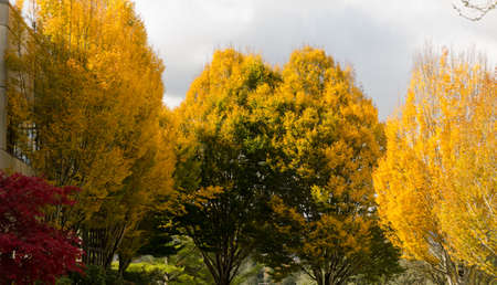Fall season in office park in Redmond with golden and crimson tones in foliage