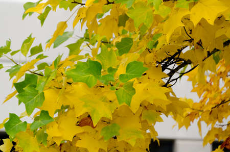 Green and golden colors in maple foliage during fall season in Redmond, Washington