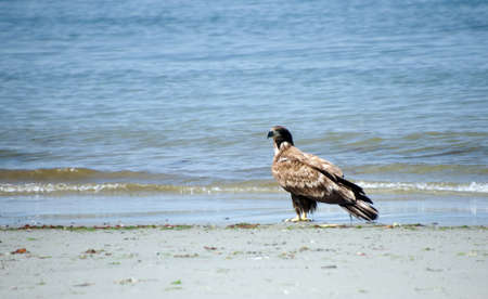 Young bald eagle at Deception Pass park, with slow surf in the background.