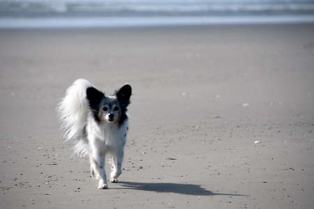 Black and white old papillon walking on sandy beach in Westport, Grays Harbor