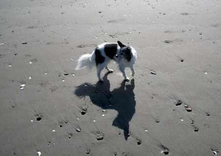 Black and white old papillon casting shadows on sandy beach in Westport, Grays Harbor