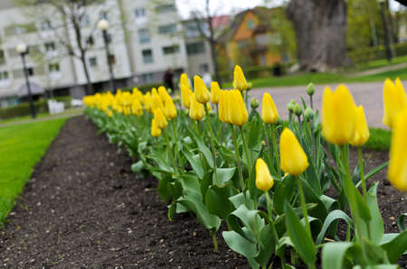 Freshly planted tulips in the park photo