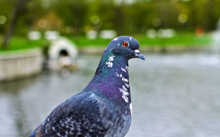 Portrait of pigeon near the park pond Stock Photo - 13613615