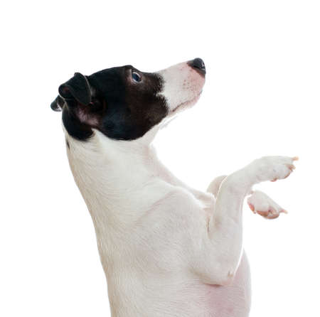 Standing jack russel terrier side view. Isolated on white photo