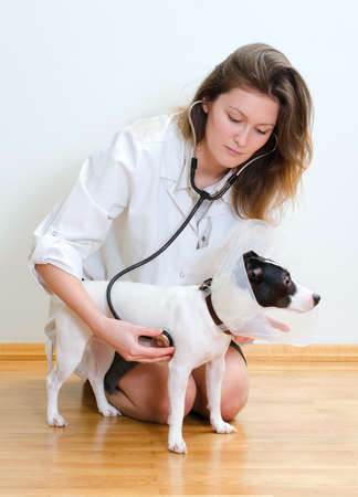 Veterinarian examining jack russell terrier with stethoscope Stock Photo - 18086360
