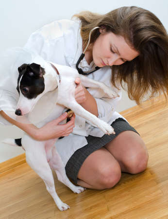 Veterinarian examining jack russell terrier with stethoscope Stock Photo - 18086367