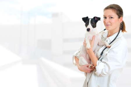 veterinario: Mujer veterinario explotaci�n jack russell terrier en fondo del hospital Foto de archivo
