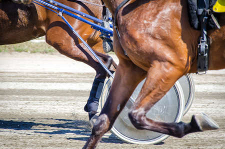 horse harness: Harness racing. Racing horses harnessed to lightweight strollers. Stock Photo