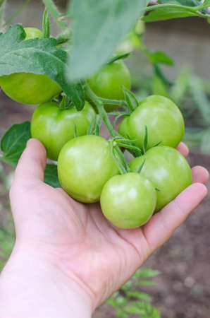 Bunch of green tomatos on a branch photo