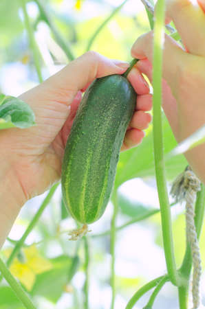 Pair of female hands picking up cucumber photo