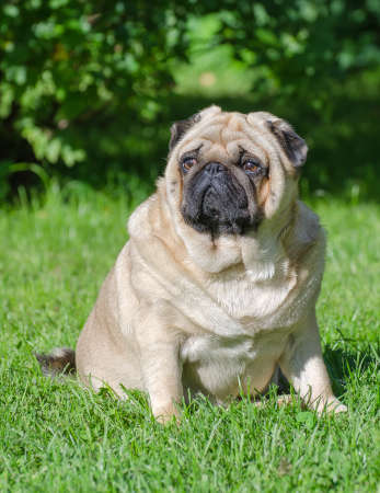 Fat pug dog on the grass in the park. Stock Photo
