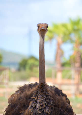 struthio camelus: Ostrich walking in national park. Struthio camelus. Stock Photo