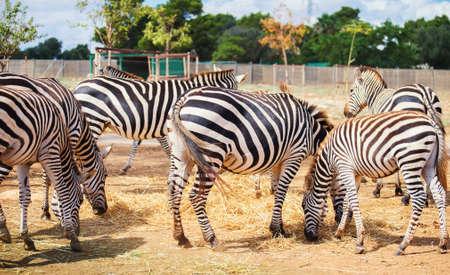 Mountain zebras in national park. Equus zebra. photo