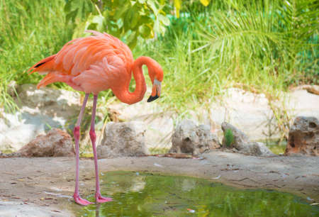 Pink flamingo near the pond in national park. Phoenicopterus ruber photo