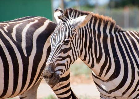 Mountain zebra walking in national park. Equus zebra. photo