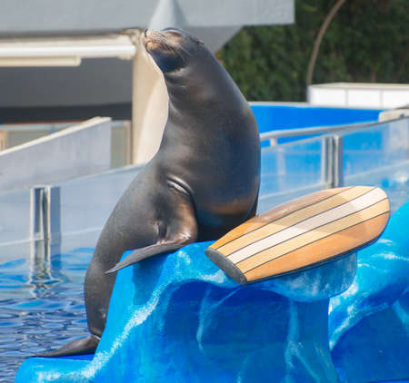 Circus sea lion performing in water pool. photo