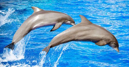 Two dolphins jumping in clear blue sea. photo