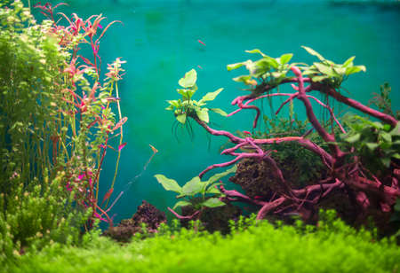 freshwater aquarium plants: Freshwater green aquarium with plants and fishes. Stock Photo