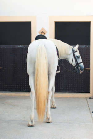 head collar: Saddled white horse near the stable.
