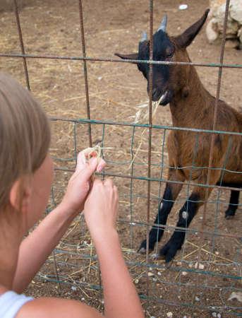 barn girls: Woman feeding goat on the farm.