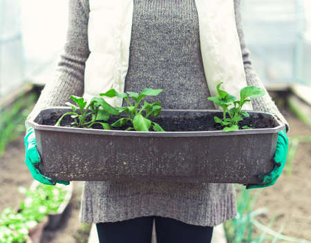 Woman's hand holding container with seedlings.