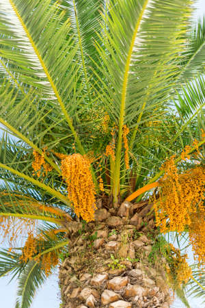 tree vertical: Colourful dates on palm tree. Vertical. Stock Photo