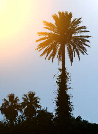 three palm trees: Silhouettes of three palm trees at sunset.