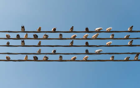 peaceful background: Pigeons sitting on wires like musical notes.