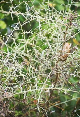 thorn bush: Thorn bush. Close-up view. Stock Photo