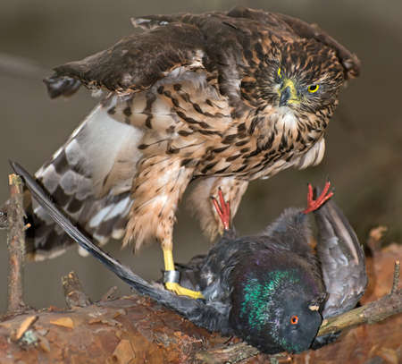 falconidae: Hawk and his victim on branch.