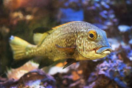sweetlips: Plectorhinchus or Two-striped Sweetlips fish.