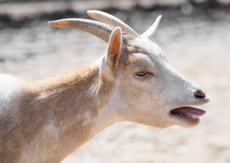 bleating: Close-up view of bleating goat. Stock Photo