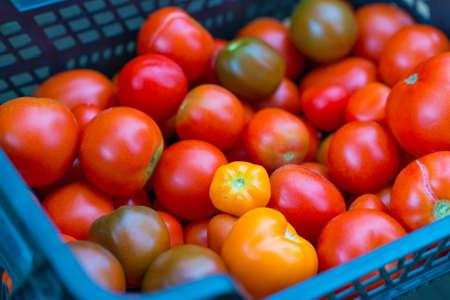 homegrown: Pile of homegrown bio organic tomatoes.