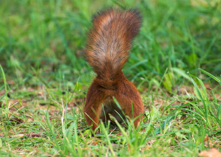 Red squirrel burying nuts in the forest.