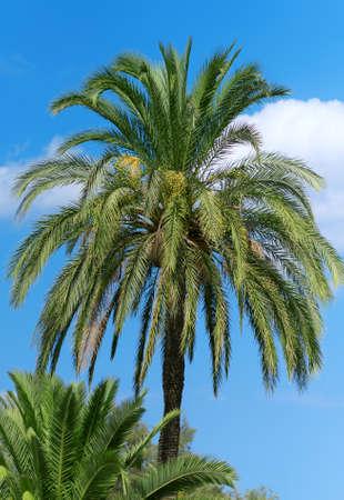 Green dates on palm tree.
