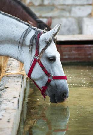 caballo bebe: Caballos de agua potable en la granja.