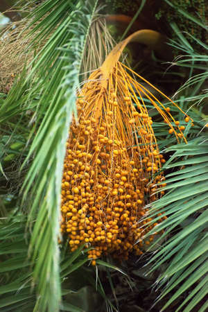 Colourful dates on palm tree. Stock Photo
