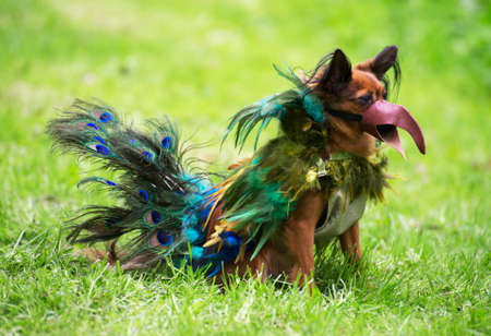 elves: Dog dressed as peacock on street carnival. Stock Photo