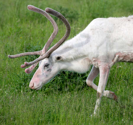 White reindeer walking in the forest. Stock Photo