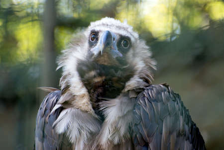 Portrait view of eurasian black vulture. Stock Photo