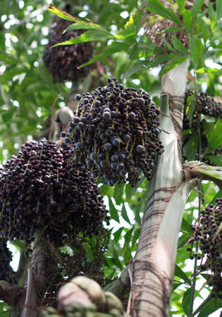 Acai berries on palm tree. Euterpe oleracea. Stock Photo