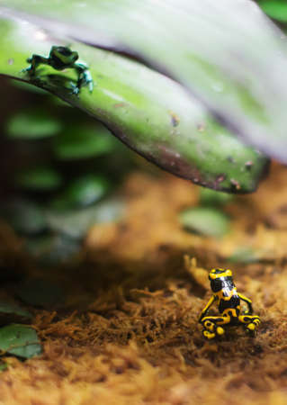 dendrobates: Two poison dart frogs looking on each other.
