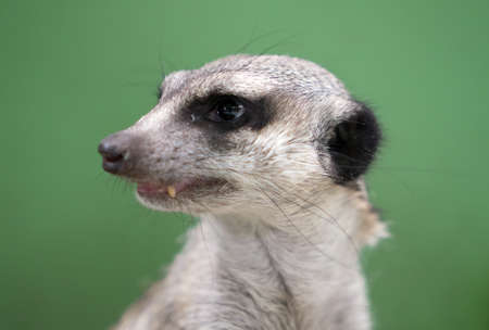 Portrait of a meerkat on a green background. Stock Photo